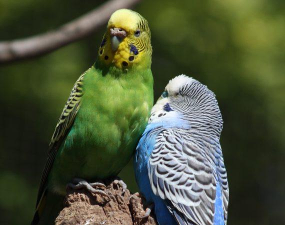 So erkennt man das Geschlecht bei Ziervögeln