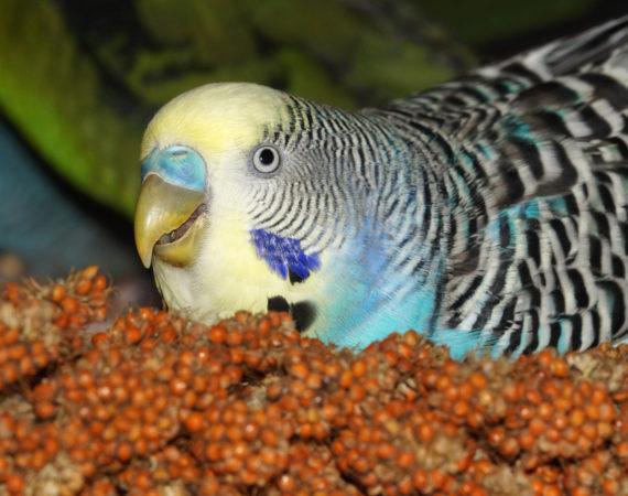 Kolbenhirse – darum ist sie bei Heimvögeln so beliebt