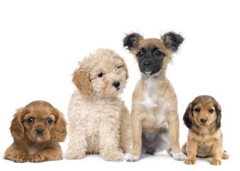 Gruppe von Welpen Hunde vor weißem Hintergrund, Studioaufnahme
