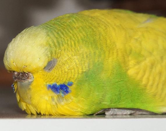 Darum ist Schlaf so wichtig für Ziervögel
