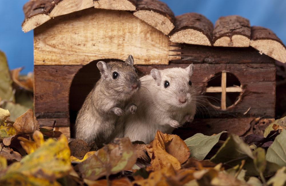 Mäuse_Rennmäuse