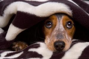 Silvester - Hund unter Decke