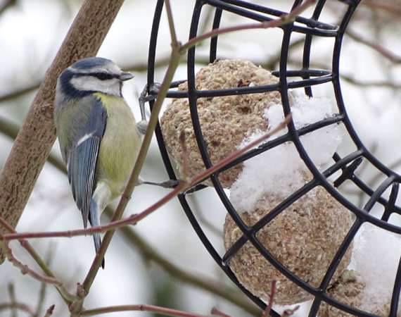 Harte Wochen für Wildvögel: Vogelfütterung bietet Überlebenshilfe für den Winter